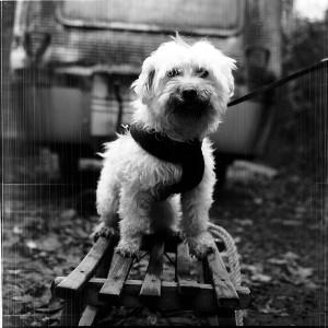 Hund auf Schlitten, der direkt in die Rolleiflex T1 guckt.