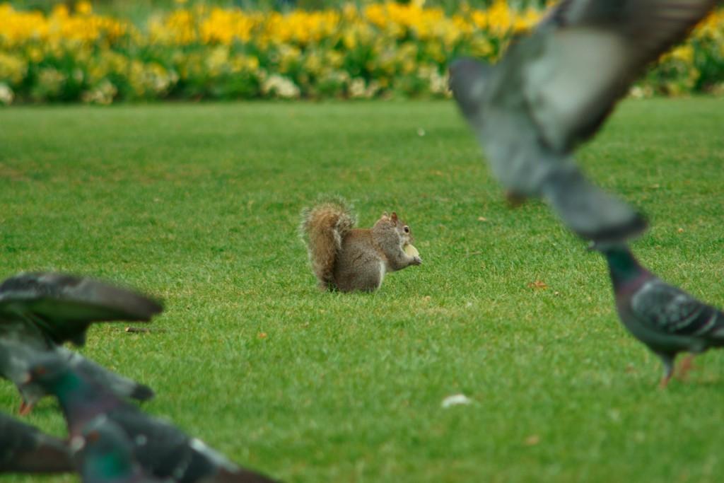 Eichhörnchen im Hyde Park London mit ein paar Tauben im Vordergrung