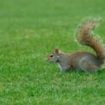 Eichhörnchen im Hyde Park London